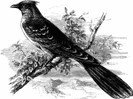 image24-cuckoo