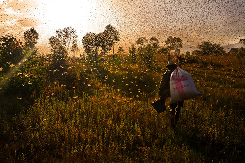 The migration of locusts (03)