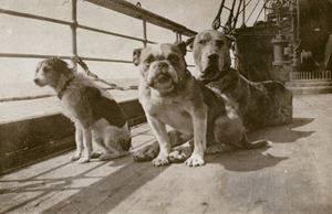 Τρία από τα σκυλιά του Τιτανικού στο κατάστρωμα, όσο το πλοίο βρισκόταν ακόμα στην Ιρλανδία. Πίσω δεξιά, πιθανότατα ο μολοσσός της Ann Elizabeth Isham.