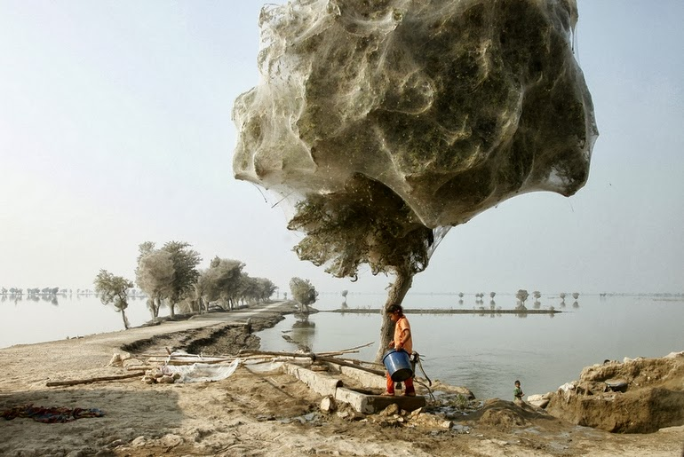 Spiderweb-cocooned-trees-in-Pakistan