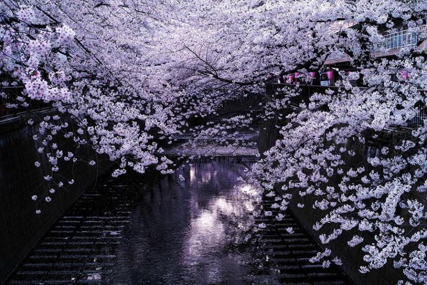 cherry-blossom-sakura-1