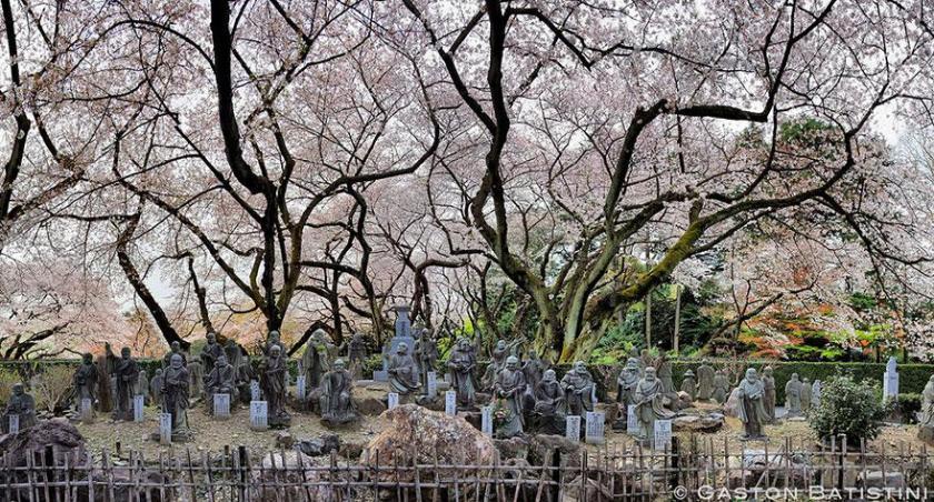 cherry-blossom-sakura-11