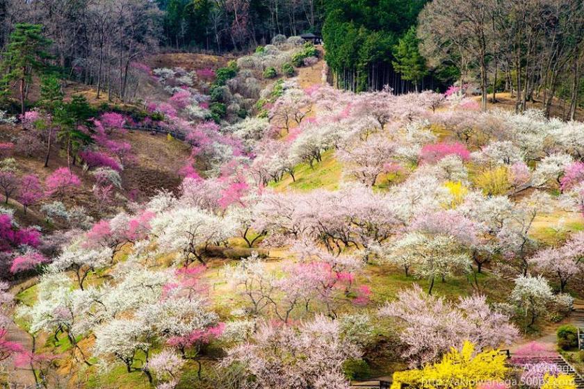 cherry-blossom-sakura-18