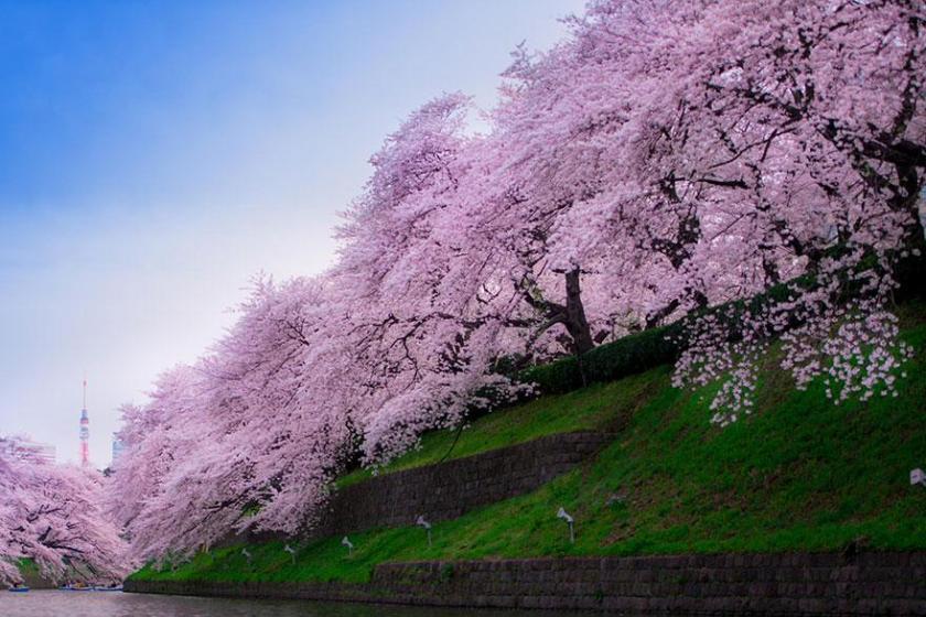 cherry-blossom-sakura-8