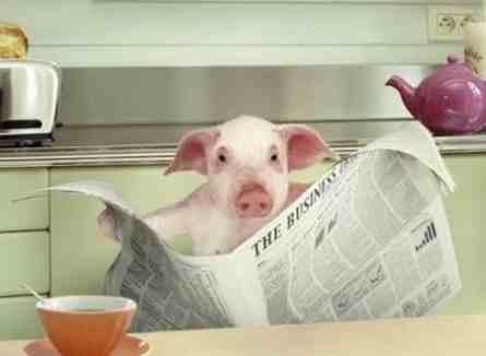 funny-pig-reading-newspaper-445x326
