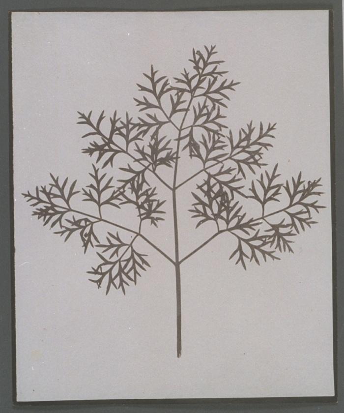 Βοτανική: δείγμα, c 1840, Ουίλιαμ Χένρι Φοξ Τάλμποτ (William Henry Fox Talbot). Από το πρώτο εικονογραφημένο με φωτογραφίες βιβλίο που κυκλοφόρησε ποτέ.