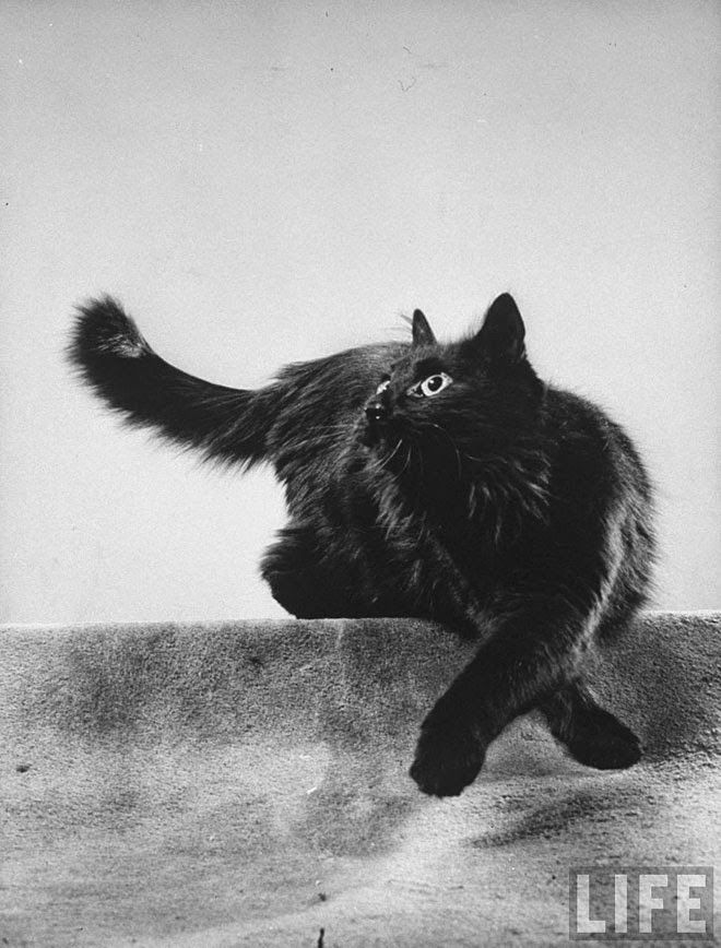 Blackie, Gjon Mili's Cat (2)