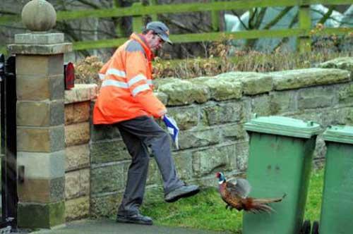 Unpleasant pheasant1