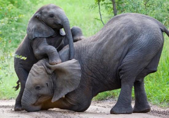 630897_az_african_elephants