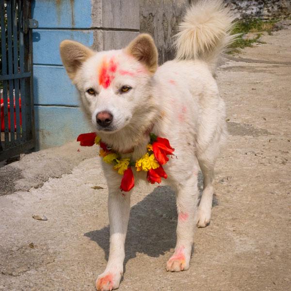diwali-tihar-dogs-10