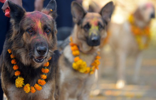 Nepalese police dogs look on after being smeared with vermillion on their foreheads and marigold garlands placed around their necks on the occasion of the Tihar festival in Kathmandu on November 13, 2012. On Tihar, as the Hindu festival of Diwali is locally known, it is customary in Nepal for people offer blessings to dogs, which are according to Hindu tradition, the messengers of Yamaraj, the god of death. AFP PHOTO/ Prakash MATHEMA        (Photo credit should read PRAKASH MATHEMA/AFP/Getty Images)