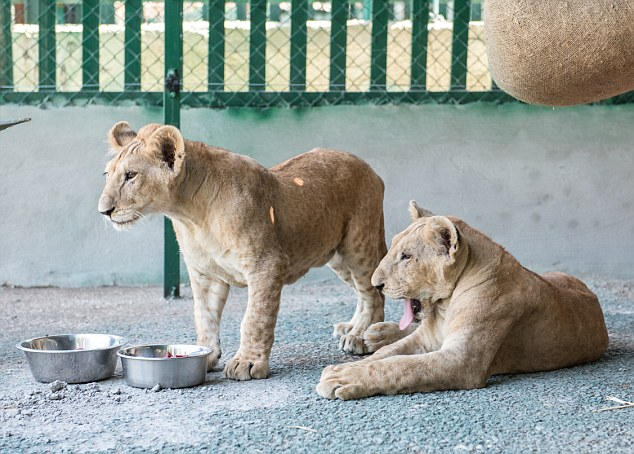 Jordan, New Hope Centre | 2015 07 06 | The two rescued lion cubs Shalom (formerly known as Mona) and Salam (formerly known as Max) at New Hope Centre the day after release.