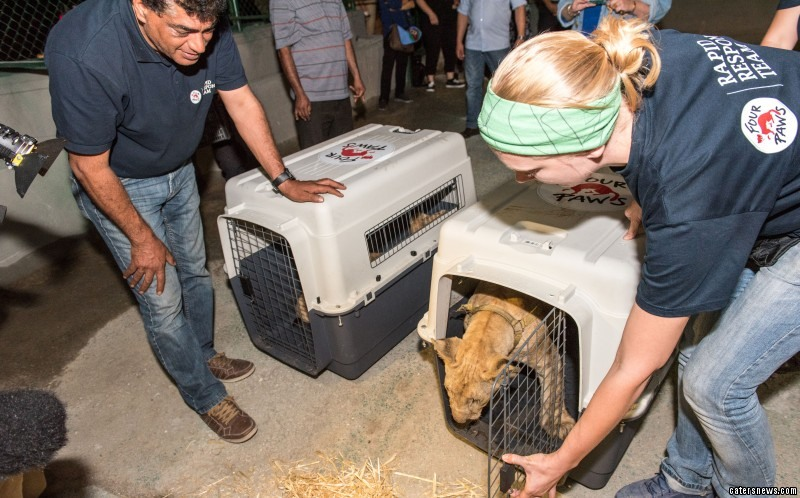 4_CATERS_INSEPARABLE_LION_CUBS_GAZA_STRIP_RESCUE_07-800x498