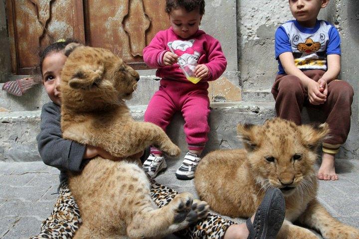 lion-cubs-gaza