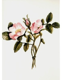 Charlotte's sketch Wild Roses From Nature, dated July 13, 1830