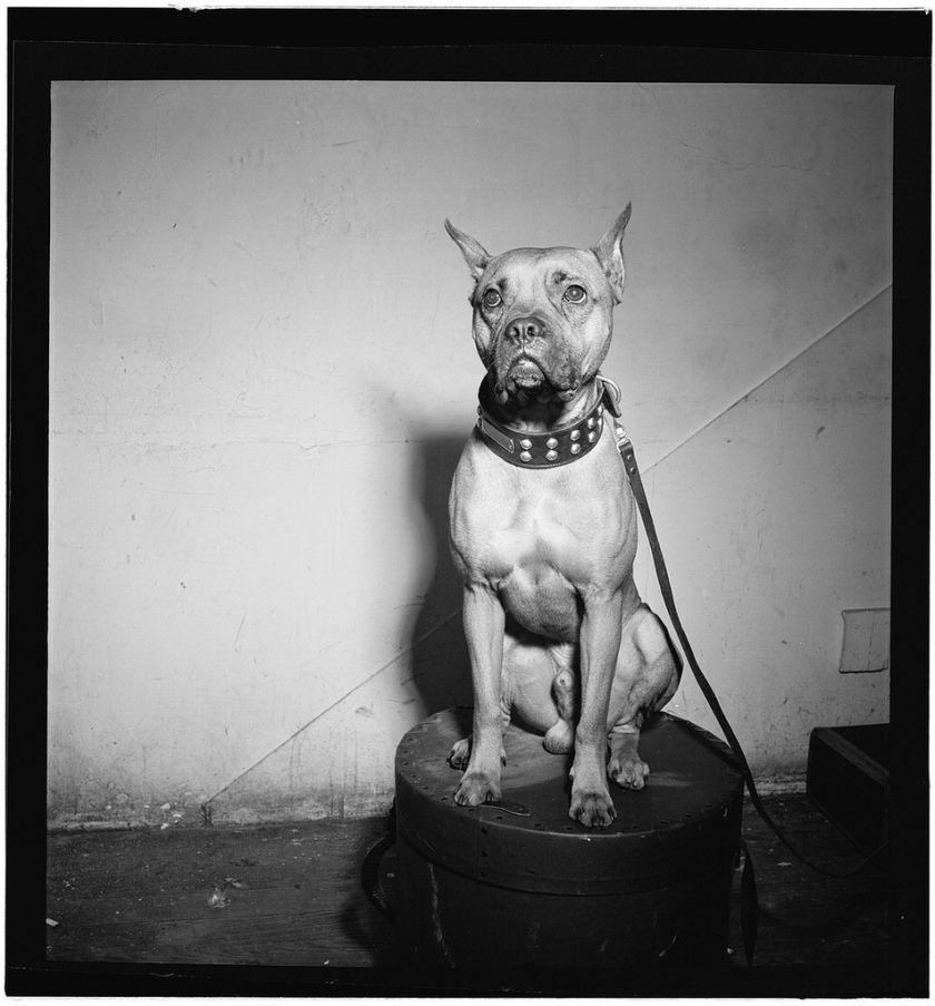 billie-holiday-boxer-mister