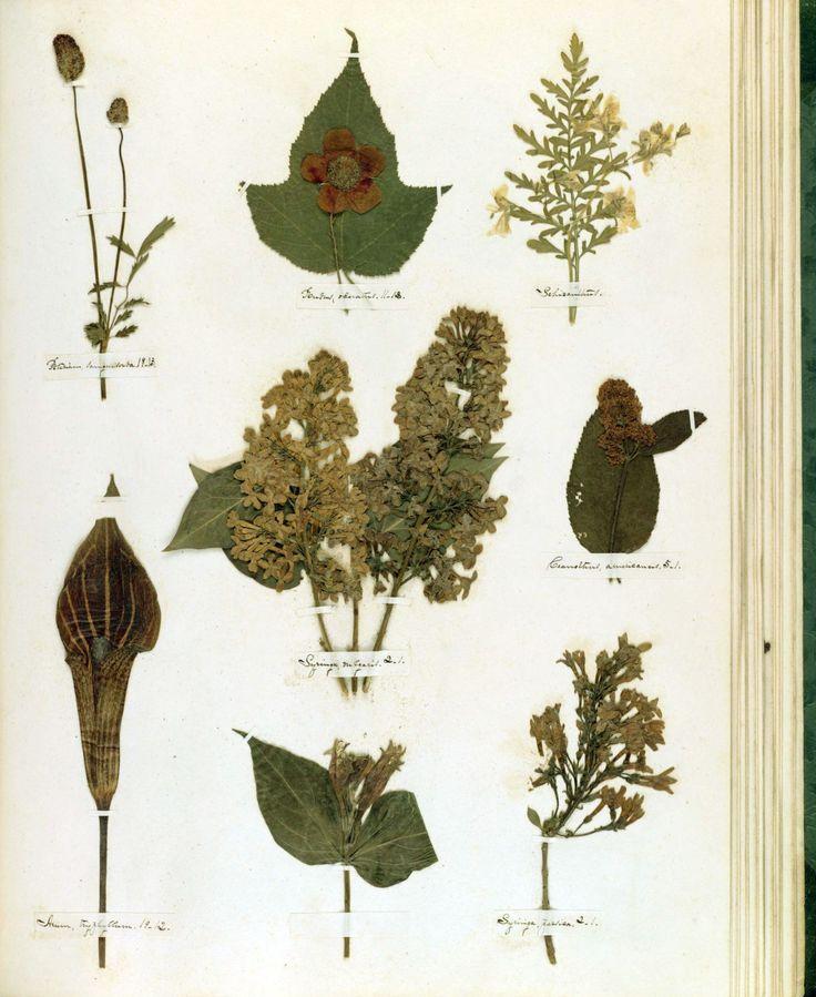 Μία από τις 66 σελίδες του φυτολογικού λευκώματος της Emily, το οποίο περιείχε 424 είδη φυτών.