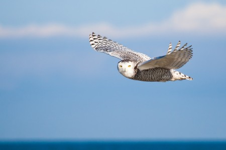 snowy-owl-for-rba-1024x682