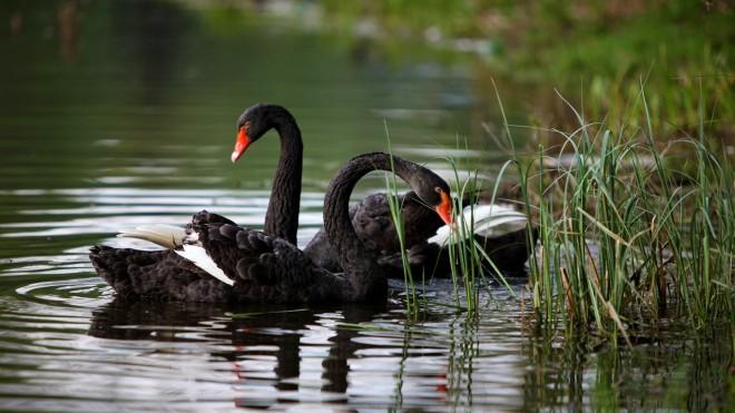 black-swan-bird-wallpaper-2