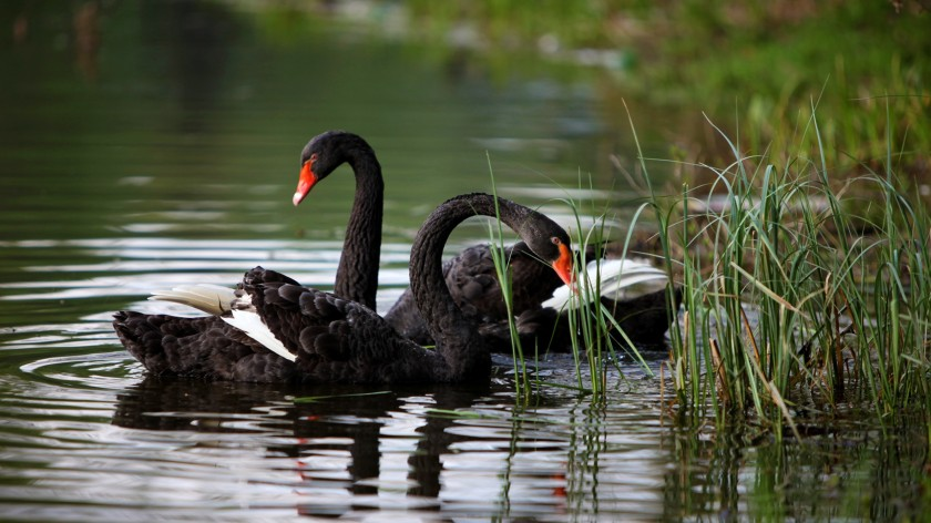 black-swan-bird-wallpaper-2