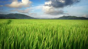 rice-paddy-field-background-9
